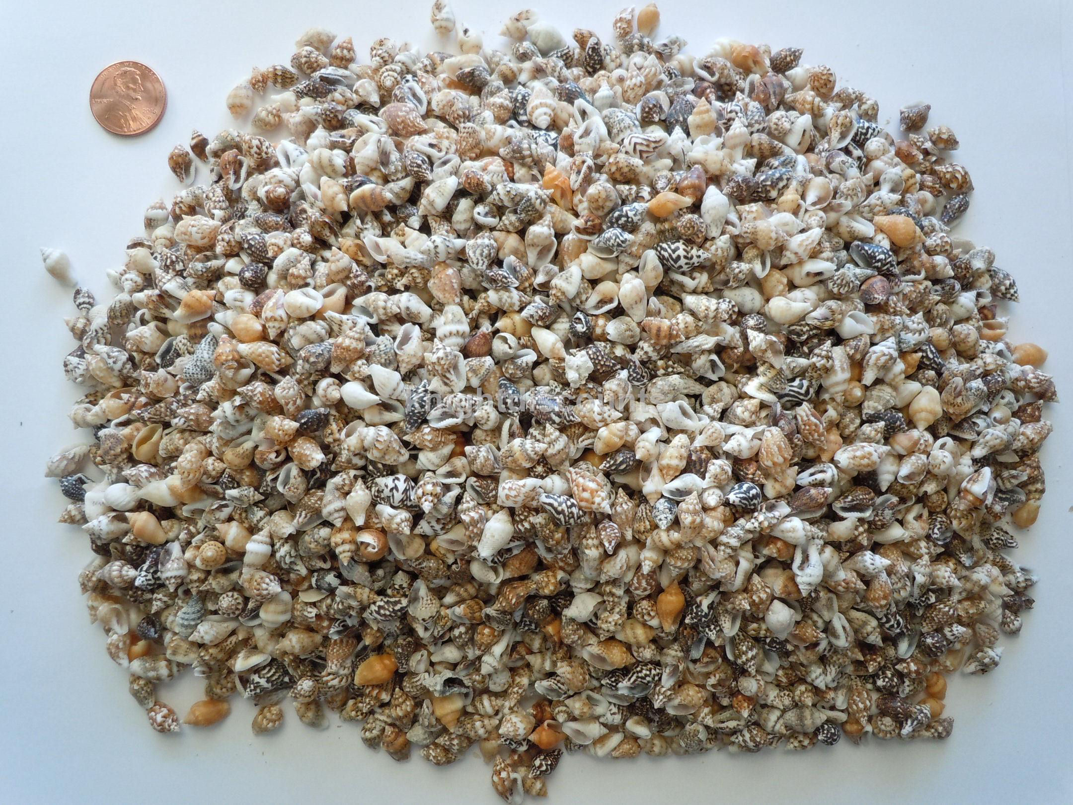 Sea shells tiny conch seashells approx 2500 pc beach art for Tiny shells for crafts